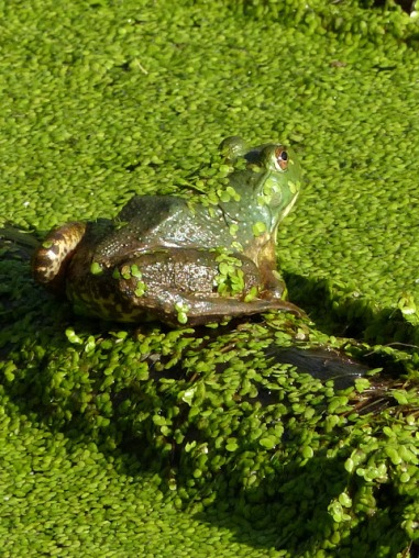 bullfrog in duckweed (MS)