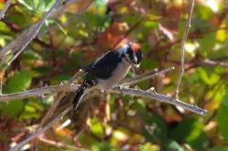 Downy Woodpecker (P&A)