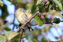 American Goldfinch (TC)