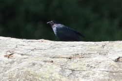 Brewer's Blackbird (TC)