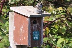 House Sparrow (TC)