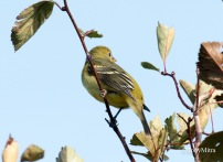 American Goldfinch (TM)