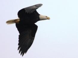 Bald Eagle (JM)