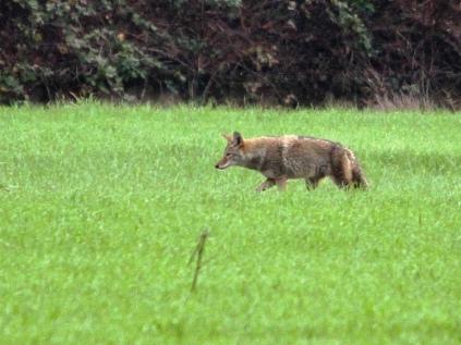 Coyote (JM)