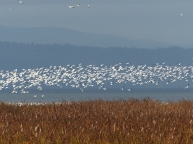 Snow Geese (LS)