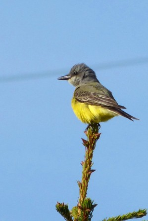 Tropical Kingbird (MS)