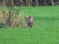 Coyote (P&A)