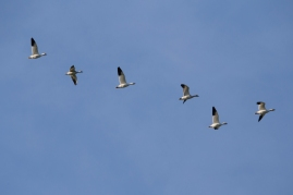 Snow Geese (P&A)