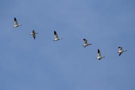 Snow Geese (P&A)