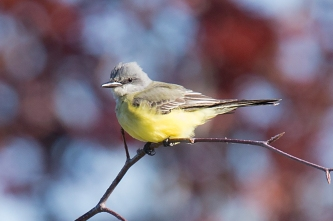 Tropical Kingbird (P&A)