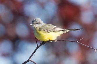 Tropical Kingbird (P&A)