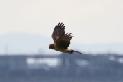 Northern Harrier (P&A)
