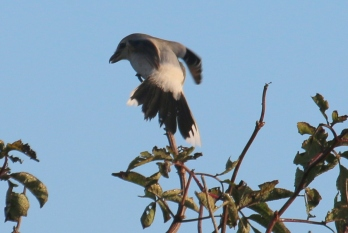 Northern Shrike (TC)