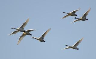 Trumpeter Swans (GB)