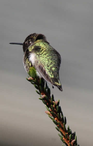 Anna's Hummingbird (JK)
