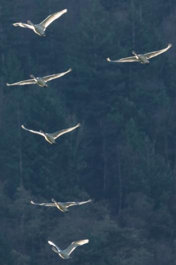 Trumpeter Swans (JMac)
