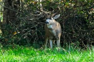 Stag near US/Canada border (KB)