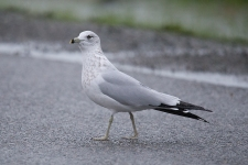 Ring-billed Gull (P&A)