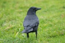 Northwestern Crow (P&A)