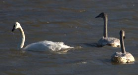 Trumpeter Swans (PS)