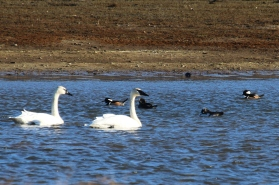 Trumpeter Swans (TC)