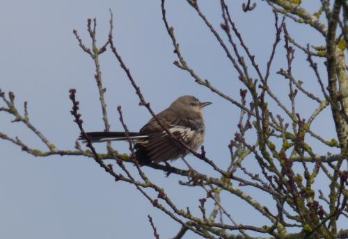 Northern Mockingbird 2.JPG