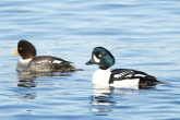 Barrow's Goldeneye pair (BA)