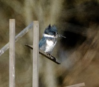 Belted Kingfisher (BA)