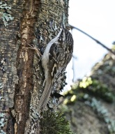 Brown Creeper (BA)