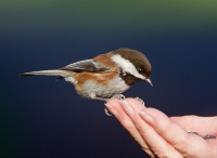 Chestnut-backed Chickadee (BA)
