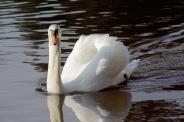 Mute Swan (BA)