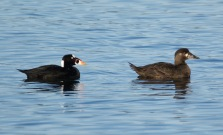 Surf Scoter pair (BA)