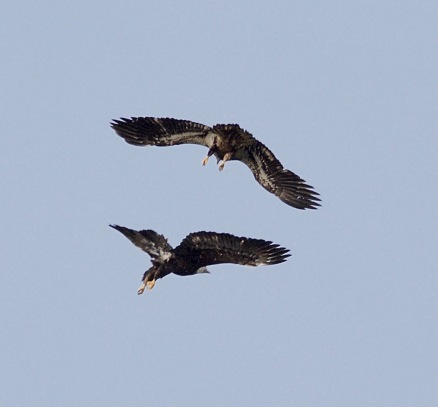 Bald Eagle juvs. (BA)