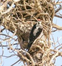 Hairy Woodpecker (BA)