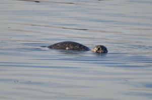 Harbour seal (GB)