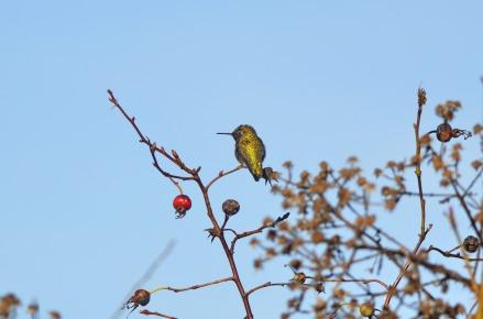 Anna's Hummingbird (GB)