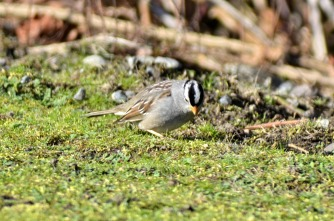 White-crowned Sparrow (GB)