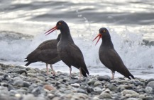 Black Oystercatcher (GB)