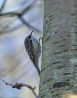 Brown Creeper (GB)