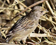 Golden-crowned Sparrow juv. (GB)