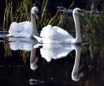 Mute Swan pair (GB)