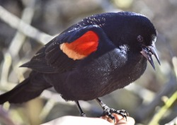 Red-winged Blackbird (GB)