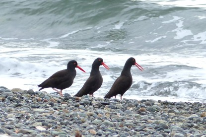 Black Oystercatcher (MS)