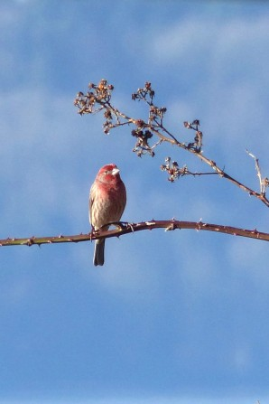 House Finch (MS)