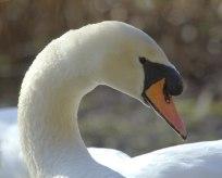Mute Swan pair (MS)