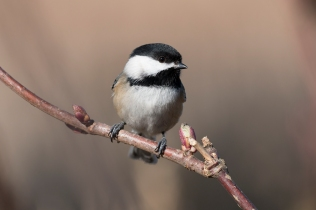 Black-capped Chickadee (P&A)