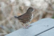 Fox Sparrow (P&A)