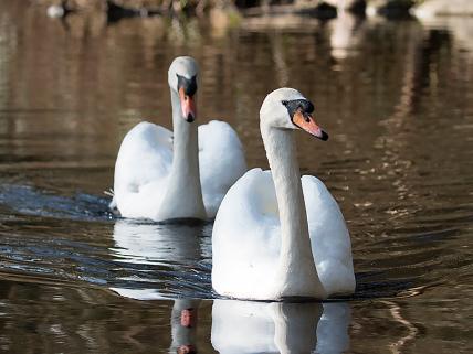 Mute Swan pair (P&A)