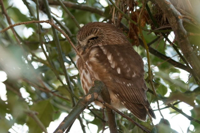 Northern Saw-whet Owl (P&A)