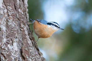 Red-breasted Nuthatch (P&A)